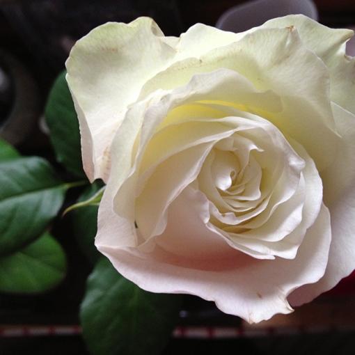 thanks rose
