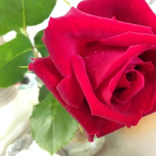 roseinmygarden