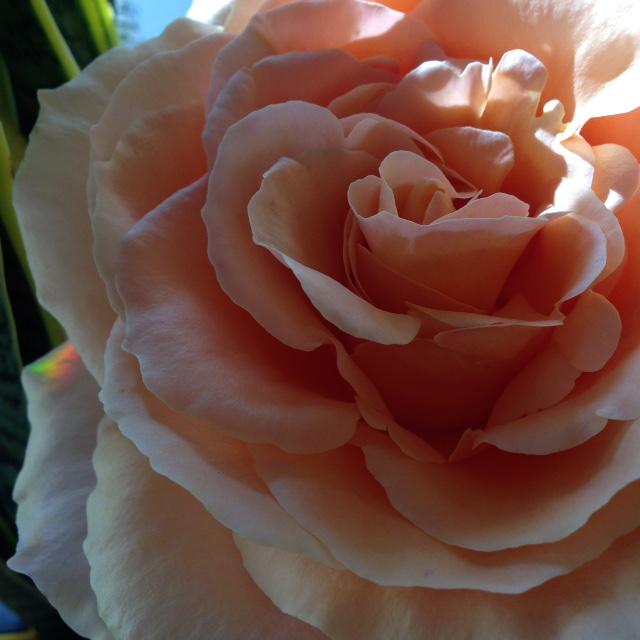 rosetears